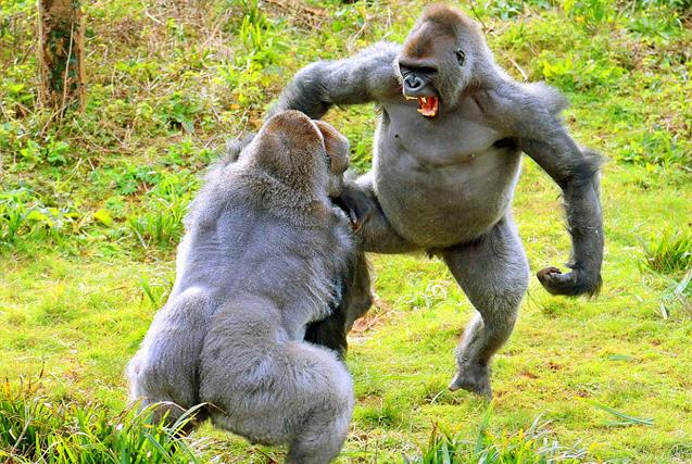 """英动物园两猩猩为马铃薯捶胸""""互撕"""""""