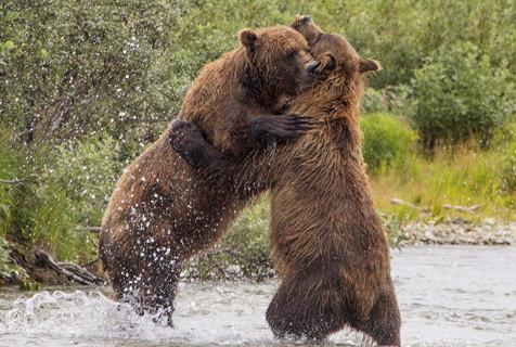 摄影师趣拍两棕熊见面拥抱行贴面礼