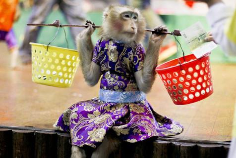 探访泰国猴子剧团 唱歌跳火圈样样精通