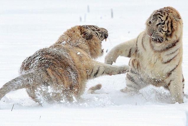 摄影师拍两珍稀白虎为争领地大打出手