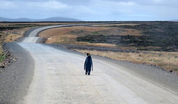 落单帝企鹅公路上摇摆前行 似想要搭便车
