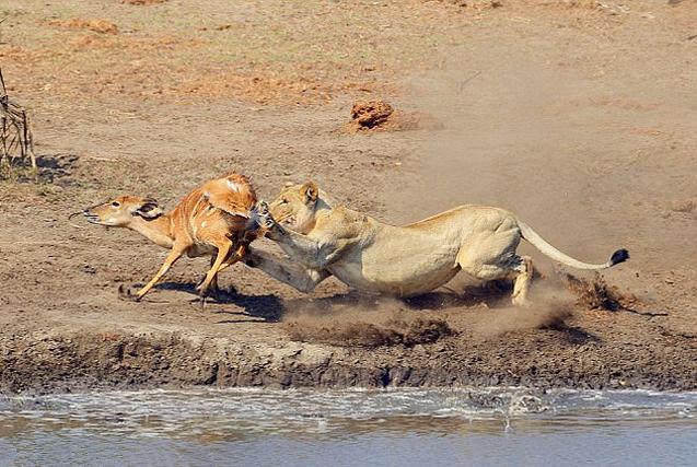 南非母狮伏击捕获林羚场面惊心动魄