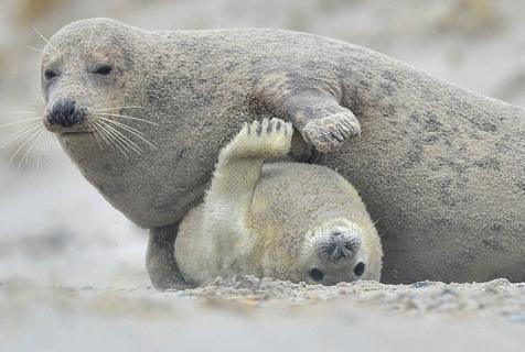 摄影师抓拍母海豹给幼崽挠痒的暖心一刻