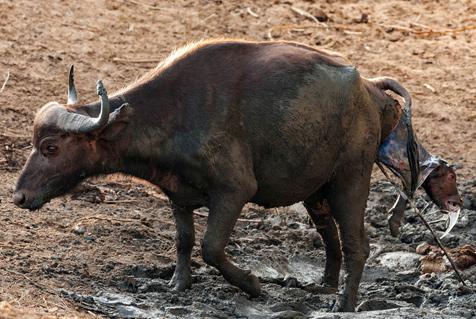 摄影师记录水牛分娩全过程