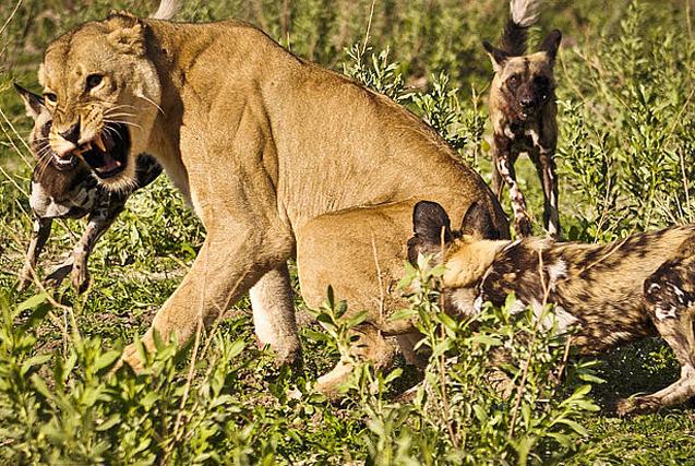 非洲母狮遭野狗围攻 寡众悬殊仍克敌制胜