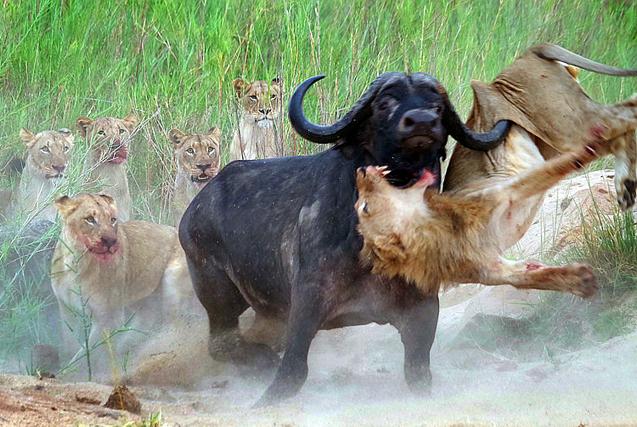 倒霉群狮猎食水牛 反被牛角顶上天