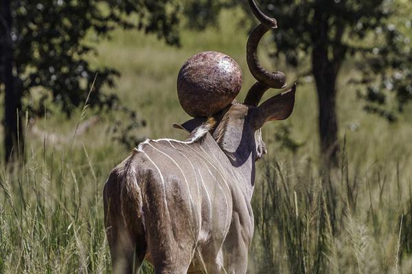 南非一羚羊角上生巨瘤仍自在进食