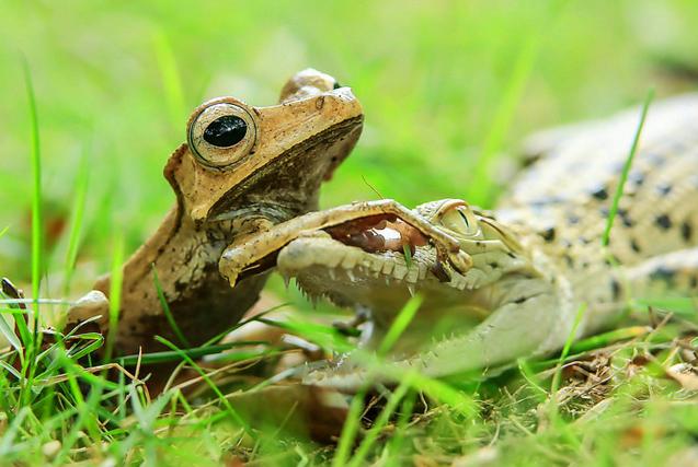 印尼小鳄鱼背后偷袭树蛙反被制服