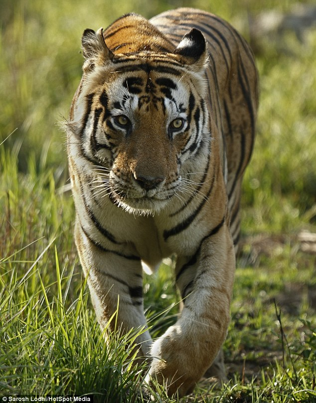 印动物园老虎因额头自带神奇花纹走红