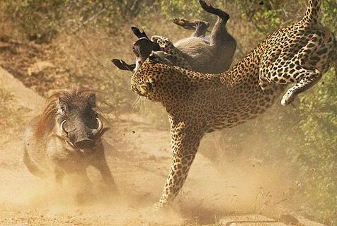 南非疣猪母亲为护幼崽与花豹殊死搏斗