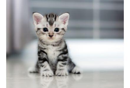 猫砂可传递弓形虫病 孕妇尤需警惕对胎儿影响