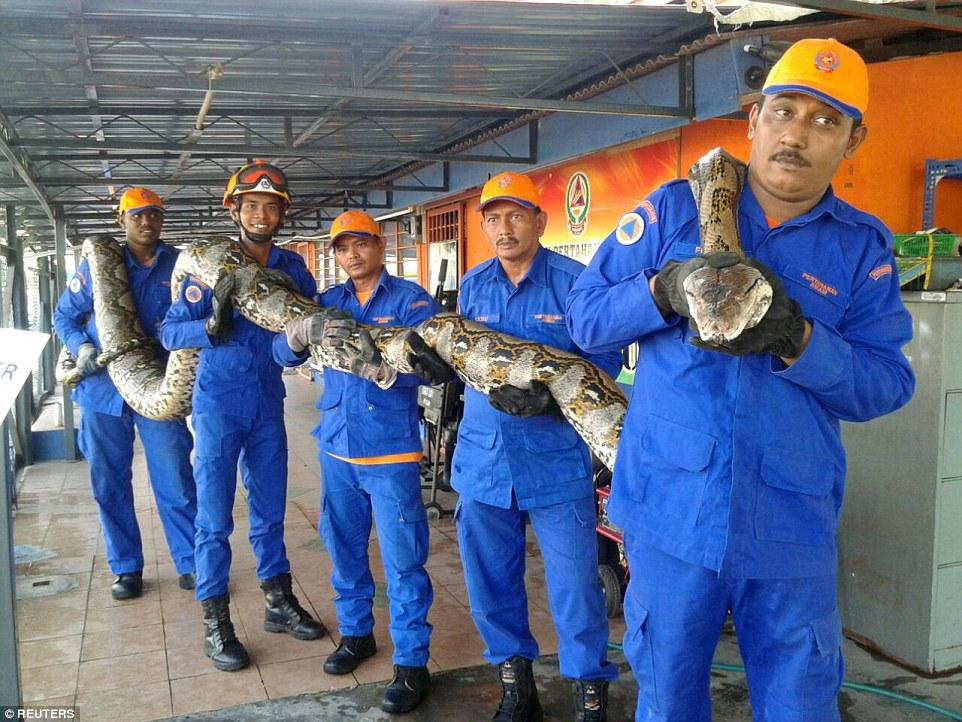 马来西亚发现世界最长蛇 有望打破吉尼斯纪录
