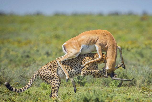 坦桑尼亚羚羊与猎豹激战 终逃脱厄运