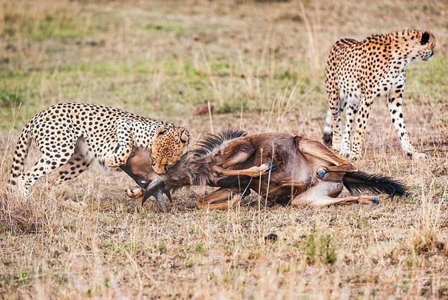 肯尼亚猎豹围追堵截猎捕角马