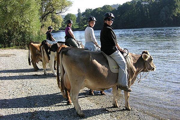 真会玩!瑞士农庄推出骑奶牛观光活动