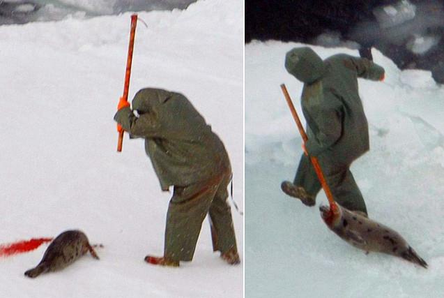 加拿大人道组织航拍猎杀海豹 画面残忍
