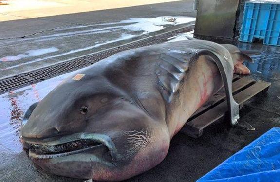 日本捕获罕见大嘴鲨 或因地震游至近海