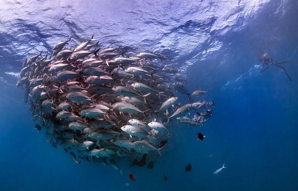 """探险家抓拍海底""""鱼群龙卷风"""" 场面壮观迷人"""