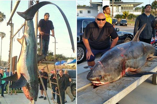 美渔夫加州海域捕获6米长深海巨鲨