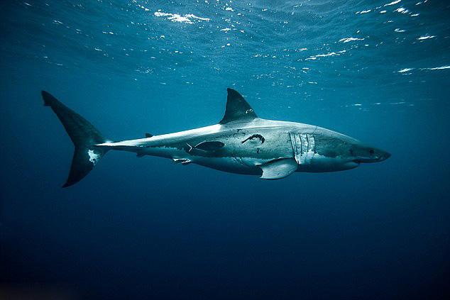 澳摄影师抓拍大白鲨 画面精彩令人震撼
