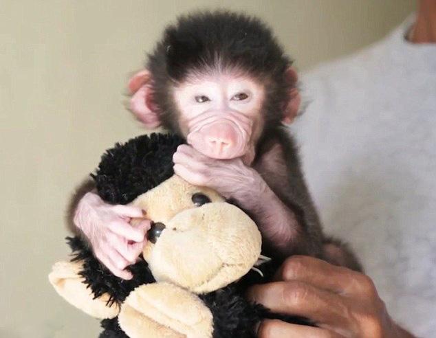 印度狒狒宝宝遭母亲抛弃 抱玩具娃娃寻求安慰图片