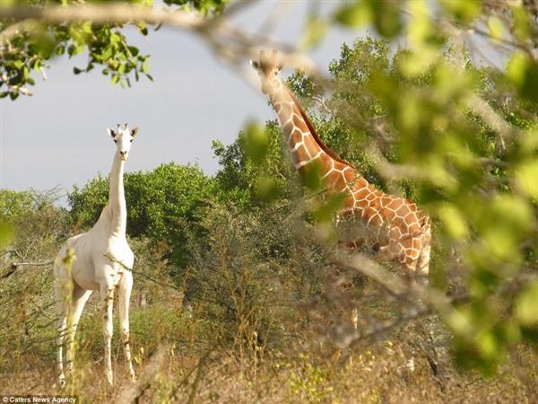 罕见纯白色长颈鹿 网友看呆了:好一匹大高马!
