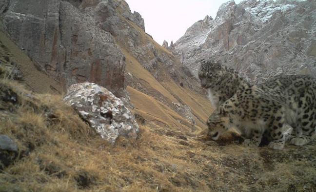 科研人员拍到野生雪豹求偶交配画面 系全球首次