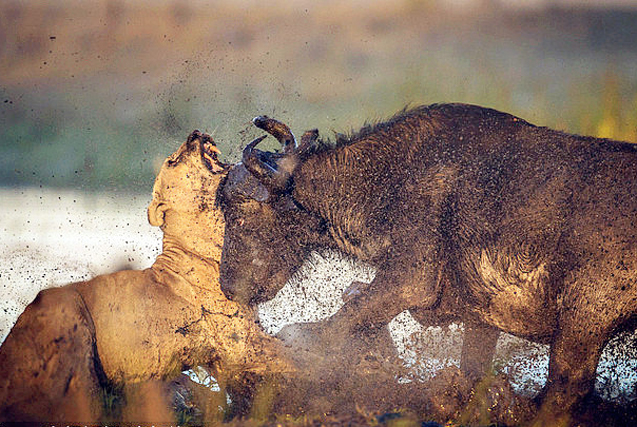 非洲公牛击杀雌狮 拯救水牛母子
