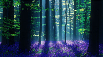 清晨风信子花海森林 树荫斑驳美得难以置信