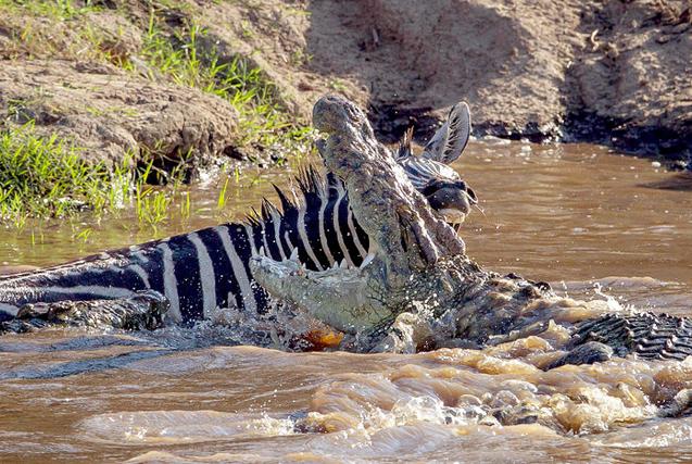 肯尼亚斑马反咬鳄鱼 成功逆袭免厄运