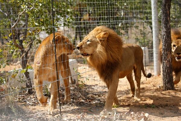 33头马戏团狮子获解救回非洲故乡
