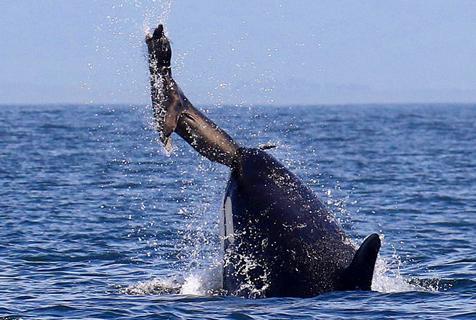 虎鲸妈教小鲸捕食 可怜海狮成道具