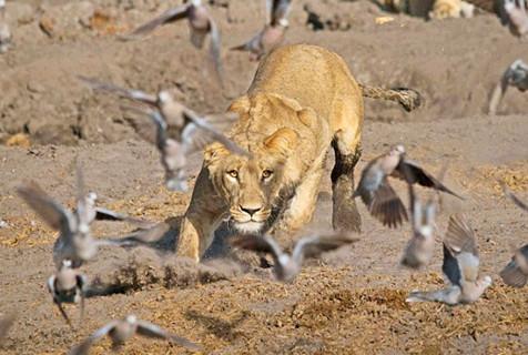 博茨瓦纳母狮捕捉环颈斑鸠 满脸羽毛
