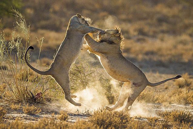 非洲雌雄狮子激烈对战 场面凶猛