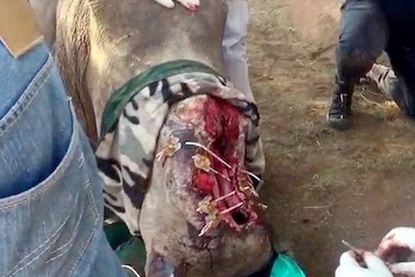 南非母犀牛遭偷猎者毒手 面部毁容过半
