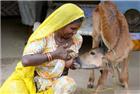 印度女子竟用人奶哺乳牛犊