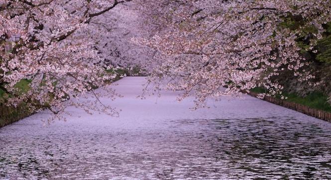 日本弘前公园落英缤纷 护城河被染成樱花粉色