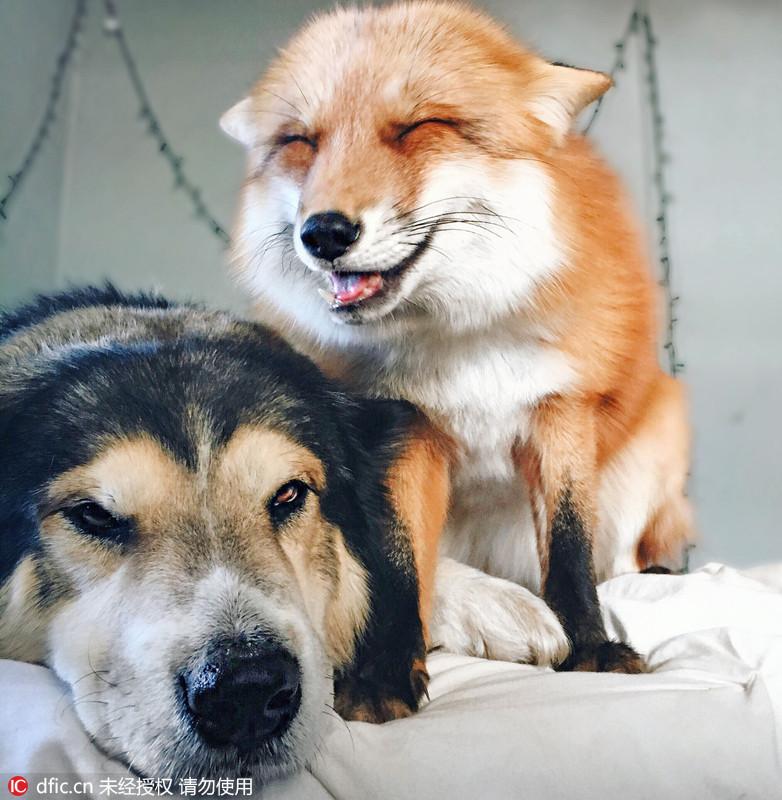 狗狗和狐狸相亲相爱寸步不离 友情感人