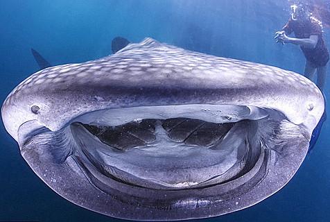 萌哭!印尼巨型鲸鱼对镜头展幸福笑容