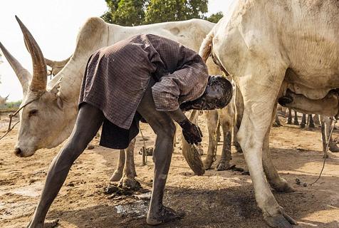 苏丹部落民众以牛为生 用牛尿洗澡