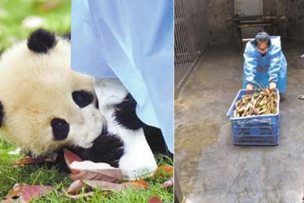 80后熊猫饲养员:工作8年 女子练出一身肌肉