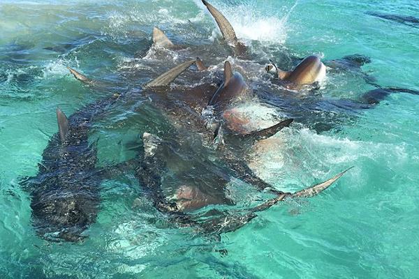 航拍澳鲨鱼湾70头虎鲨抢食座头鲸尸体