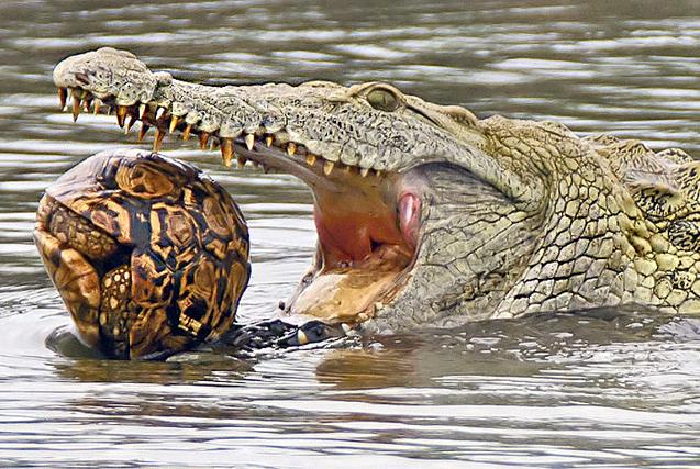 南非鳄鱼将乌龟当球玩弄 大口吞食