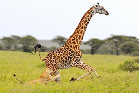 坦桑尼亚长颈鹿奋力挣扎终狮口逃生