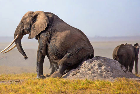 奇痒难耐!大象蚁丘狂蹭屁股
