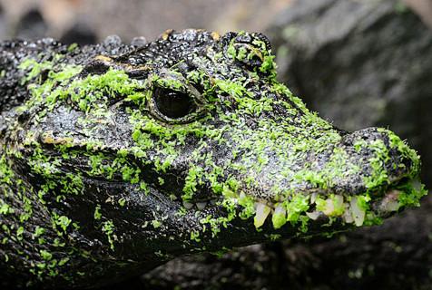 捷克动物园侏儒鳄鱼被绿藻糊一脸