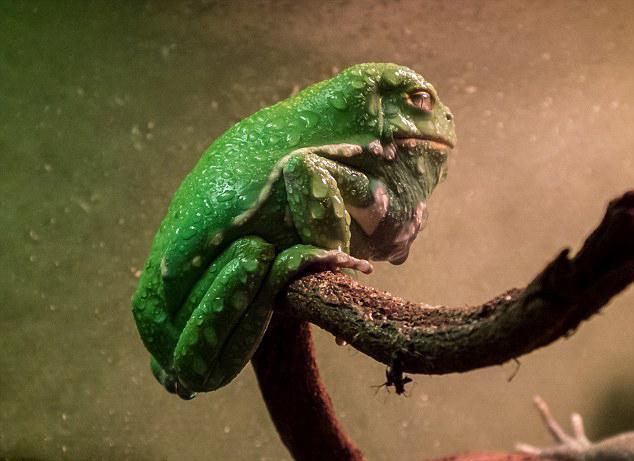 澳树蛙外貌丑陋 酷似《星球大战》怪物贾巴