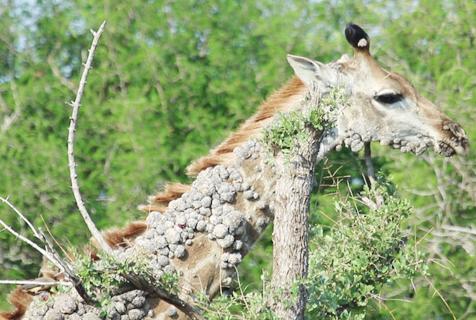 南非长颈鹿得皮肤病 如同石头长在身上