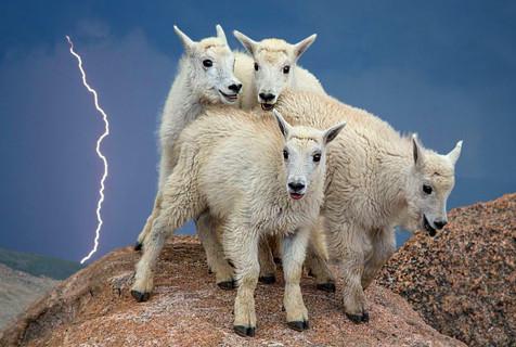 雷电交加!小山羊受惊挤作一团