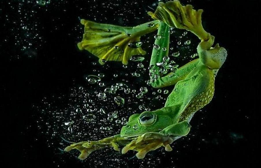 绿色青蛙在水中舞姿